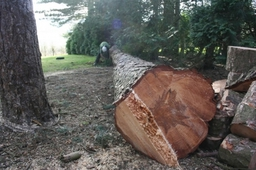 Large Tree Felling  Removal