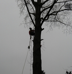 Tree Felling, Repton, Derbyshire