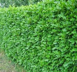 A Griselinia evergreen hedge