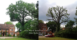 Oak reduction by our tree surgeons