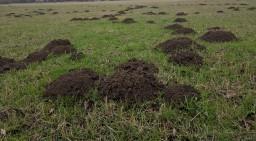 Garden Mole Removal