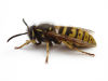 Wasp Nest Removal Wolverhampton