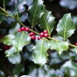 Common Holly - Ilex aquifolium