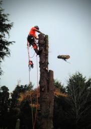 Conifer tree removal, Desborough