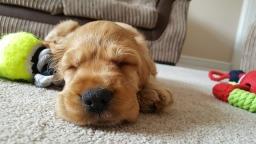Dog with toys sleeping