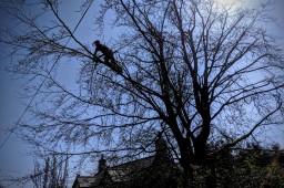 Beech tree pruning in Desborough