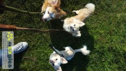 Chihuahua brigade - Winchester