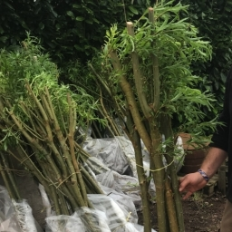 Multi Stem Willow