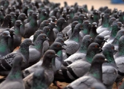 Large Flock Of Pigeons Await New Staue