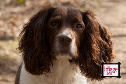 Springer Spaniel Headshot