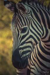 Photograph of a Plains Zebra