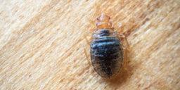 Bedbugs Get Rid of Bedbugs Glasgow Pest Solutions