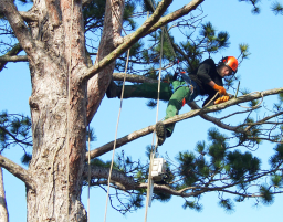 tree surgery