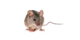 Mouse Control Glasgow 3 Pest Solutions