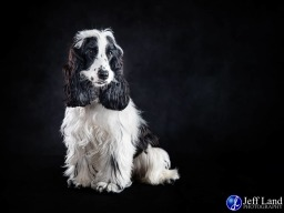 Studio Portrait Photographer Cocker Spaniel