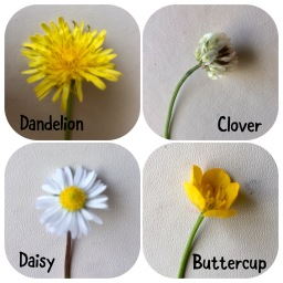 Dandelion - Clover - Daisy - Buttercup