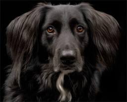 Merlin- Dog Portrait