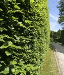 Beech Hedge - Fagus sylvatica
