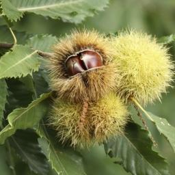 Sweet Chestnut - Castanea sativa