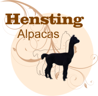 Alpaca Walking Hensting Alpacas