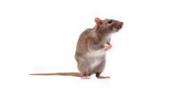 Rat Control Glasgow 3 Pest Solutions