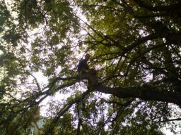 Thinning out a Horse Chestnut tree.