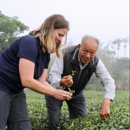 Eve picking tea in Alishan, Taiwan.