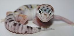 Top Quality Leopard Geckos