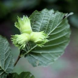 Hazel - Corylus avellana