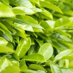Cherry Laurel - Prunus laurocerasus rotundifolia