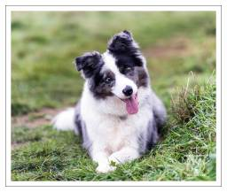 Pebble Border Collie