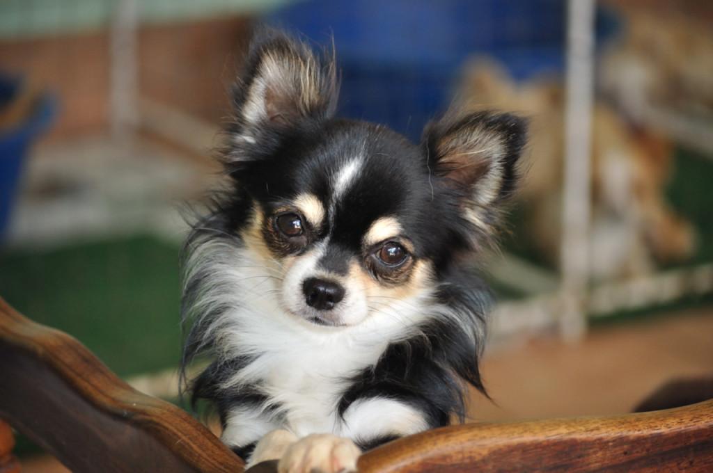 Bronties Chihuahuas Lynnwood Weg Verlenging Pretoria Gauteng 0081