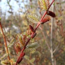 Purple Willow - Salix purpurea