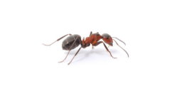 Ants Black Ant Control Glasgow Pest Solutions
