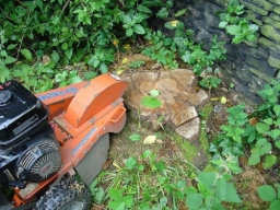 Tree Stump Before Being Ground Out