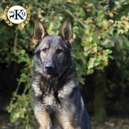protection dog UK