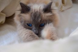 Holly - Blue Point Birman - Customer's Cat