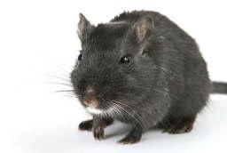 Rat control Kent