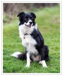 Archie Border Collie