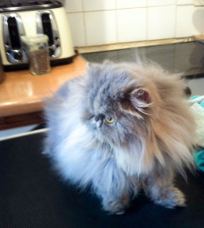Feline Divine mobile cat grooming - Lili