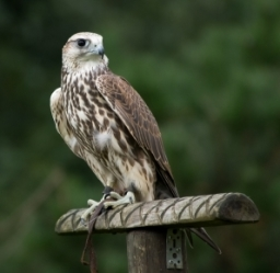 Falcon used for bird control In Dorset and Hampshire