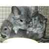Chinchilla Lady