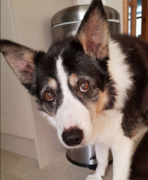 Molly - Border Collie - Customer's Dog -  Greasby.