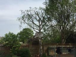 crown reduction silver birch