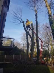 Lime Tree Pollarding Prestwich Cherry Picker
