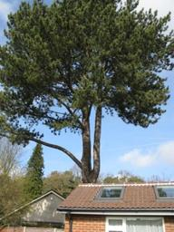 The sectional dismantle of a large Corsican pine over a house