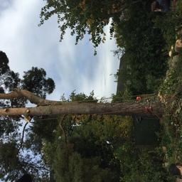 Pine fell