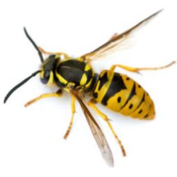 Wasp Nest Removal Glasgow