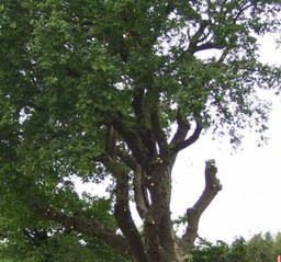 Tree Surgeons Surrey