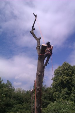 Ash Tree dismantle